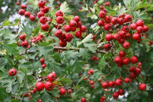 Ginkgo biloba (Páfrányfenyő) – használata és mellékhatásai