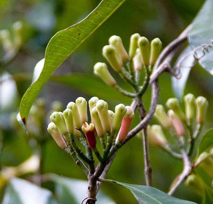 Az illatos szegfűszeg fa virág bimbói Pemba szigetén
